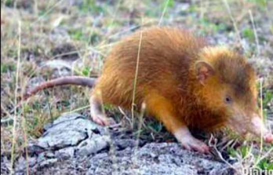 Investigan Agricultor Mantenía Cautivo Solenodonte en Estero Hondo